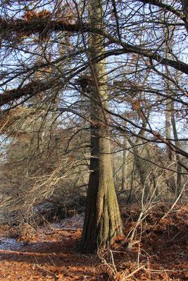 Sumpfzypresse (Taxodium), Rote Liste Status: 10 noch nicht bestimmt, Bild Nr.329, Aufnahme von Nikolaus Eberhardt (22.1.2017)