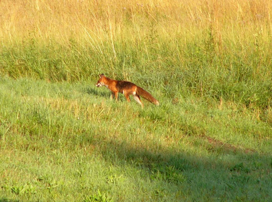 Rotfuchs (Vulpes vulpes), Rote Liste Status: 10 noch nicht bestimmt, Bild Nr.162, Aufnahme von Günter Feldner, Fundort: Gießeweiher
