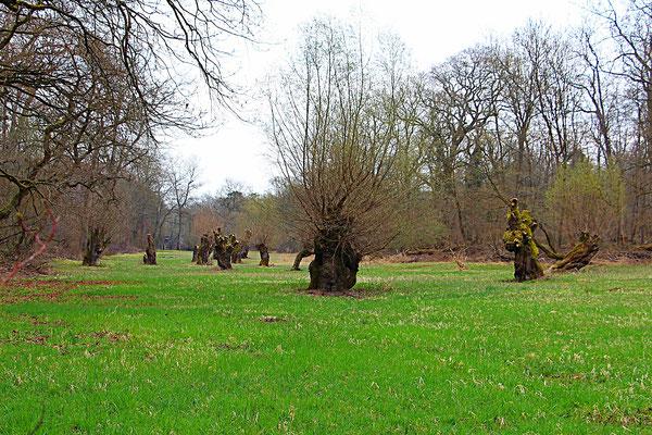 Weide (Salix), Kopfweide,  Rote Liste Status: 10 noch nicht bestimmt, Bild Nr.61, Aufnahme von Nikolaus Eberhardt (19.2.2017)