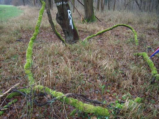 Wilde Weinrebe (Vitis vinifera), auch vitis sylvestris,  RoteListe: 1 vom Aussterben bedroht, Bild v. Nick E. (5.7.2015)