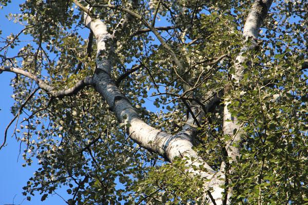 Graupappel (Populus × canescens), Rote Liste Status: 10 noch nicht bestimmt, Bild Nr.342, Aufnahme von Nikolaus Eberhardt (24.9.2016)