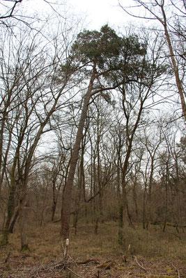 Waldkiefer (Pinus sylvestris), Rote Liste Status: 8 nicht gefährdet, Bild Nr.86, Aufnahme von Nikolaus Eberhardt (6.4.2015)