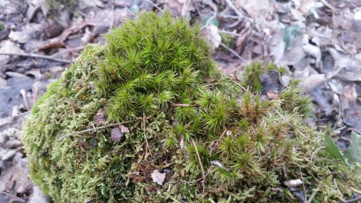 Grünes Besenmoos (Dicranum viride), Rote Liste Status: 6 Arten der Vorwarnliste, Bild Nr.487, Aufnahme von Anja Lehmer (11.2.2018)