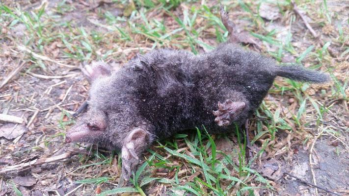 Maulwurf (Talpidae),leider tot,  Rote Liste Status: 10 noch nicht bestimmt, Bild Nr.367, Aufnahme von Anja Lehmer (7.5.2017)