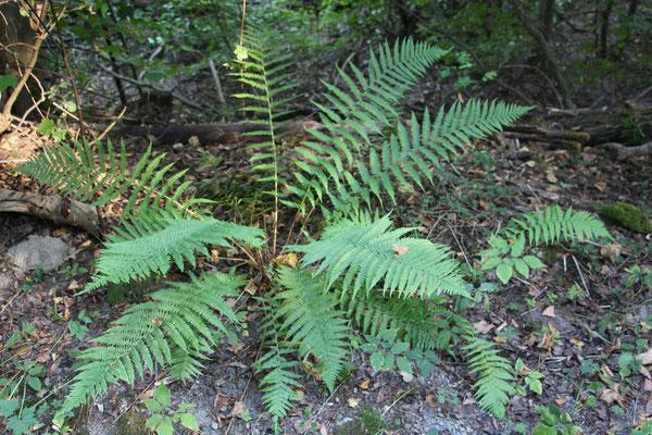 Waldfrauenfarn (Athyrium filix-femina), Rote Liste Status: 8 nicht gefährdet, Bild Nr.615, Aufnahme von N.E. (16.9.2018)