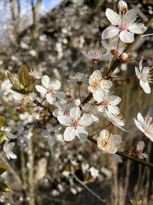 Kirschpflaume (Prunus cerasifera), Blüte,  RoteListe: 8 nicht gefährdet, Bild Nr.725, Bild v. Nick E. (27.3.2021)