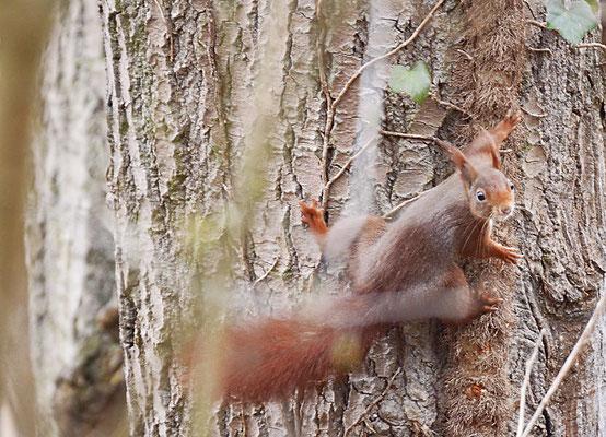 Eichhörnchen (Sciurus vulgaris), Rote Liste Status: 10 noch nicht bestimmt, Bild Nr.47, Aufnahme von Andreas Bräuning