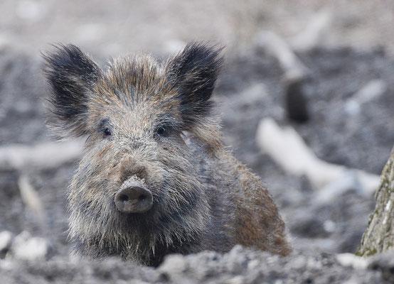 Wildschwein (Sus scrofa), Rote Liste Status: 10 noch nicht bestimmt, Bild Nr.32, Aufnahme von Andreas Bräuning
