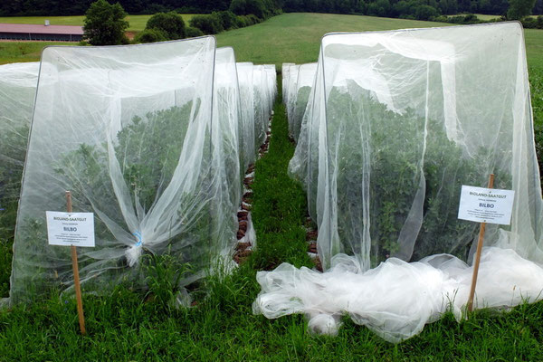 Netze spannen sich über 40 Meter lange Reihen sortenreiner BILBO Saaten