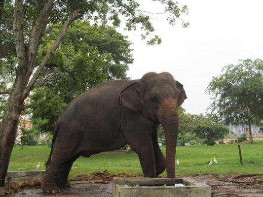 Gefangener Elefant bei Dewi Nuwara