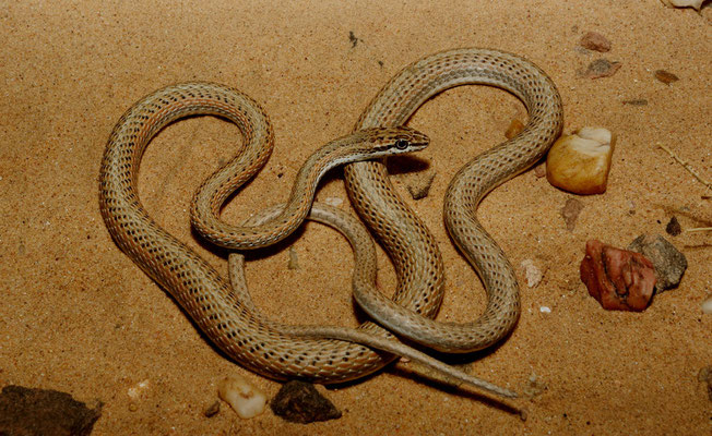 Serpent des sables, Psammophis schokari © Michel Aymerich