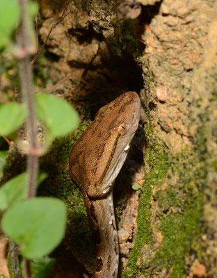 Protobothrops mucrosquamata. Venomous! Juillet 2016  ©Michel AYMERICHProtobothrops mucrosquamata. Venomous! ©Michel AYMERICH