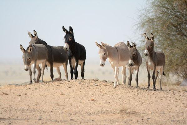Troupeau d'ânes dans l'Adrar soutouf © Michel Aymerich