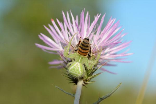Heriaeus hirtus, consommant une abeille, Salagou (Hérault) ©Michel AYMERICH