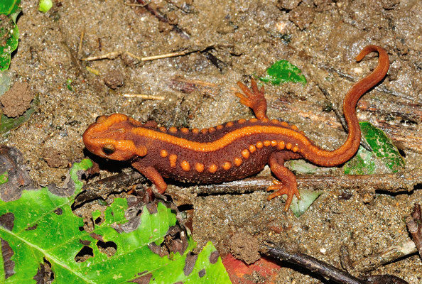 Salamandre (Tylototriton verrucosus) à  Yuanyang (Yunnan), Chine 2017 ©AYMERICH Michel