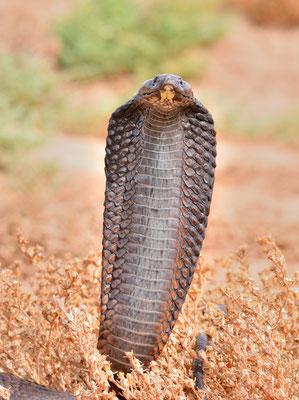 Cobra d'Afrique du Nord (Naja haje legionis) coiffe déployée. Voir l'article en rapport avec cette espèce sur mon Blog (onglet correspondant). Région de Tan-Tan ©Michel AYMERICH