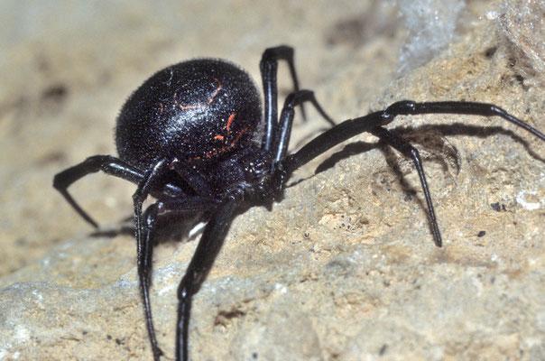 Femelle de veuve noire adulte (Latrodectus tredecimguttatus)  Hérault ©Michel AYMERICH