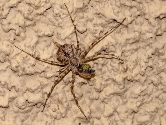 Araignée de la famille des Hersiliidae ©Michel AYMERICH