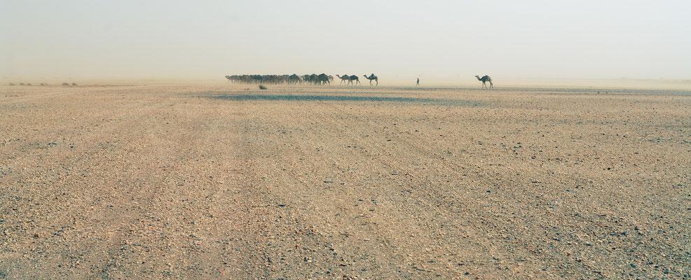 Ces dromadaires se rendent par vent de sable vers un puit. Sahrara atlantique ©Michel AYMERICH