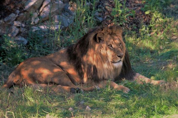 Lion de l'Atlas (Panthera leo leo) Parc zoologique de Lunaret à Montpellier ©Michel AYMERICH