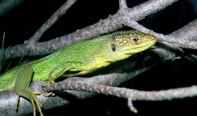 Lézard vert (Lacerta bilineata), mâle © Michel AYMERICH