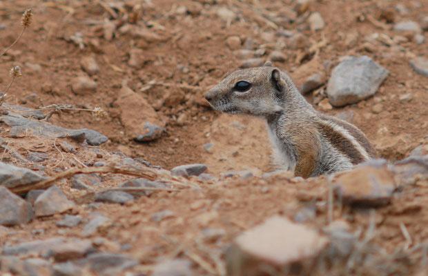 Écureuil de Barbarie (Atlantoxerus getulus) ©Michel AYMERICH