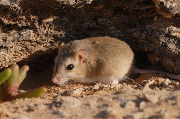 Gerbille (Gerbillus sp.?). Sahara atlantique, près d'El Argoub ©Michel AYMERICH