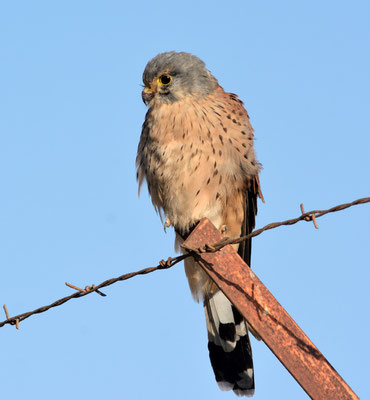 Faucon crécerelle (Falco tinnunculus) à Agadir ©Michel AYMERICH