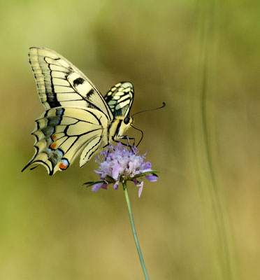 Machaon ou Grand porte-queue (Papilio machaon), Montpellier (Hérault) ©Michel AYMERICH