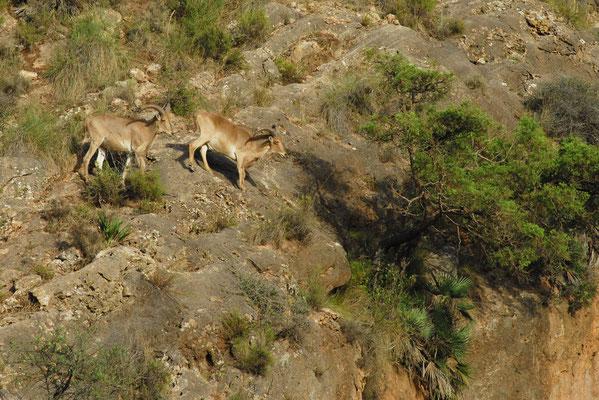 Mouflons à manchettes (Ammotragus lervia) dans l'Oriental (Maroc) ©Michel AYMERICH