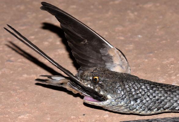 Couleuvre de Montpellier, mâlede la sous-espèce «saharatlanticus», en train d'ingurgiter un oiseau mort. Région de Tantan ©Michel AYMERICH