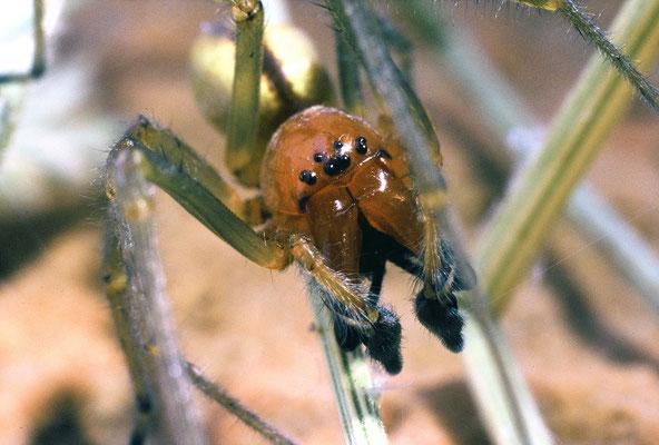 Chiracanthe nourrice (Cheiracanthium punctorium) mâle, Hérault ©Michel AYMERICH
