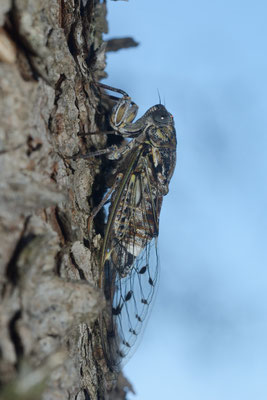 Cigale (Cicada orni) Montpellier (Hérault) ©Michel AYMERICH