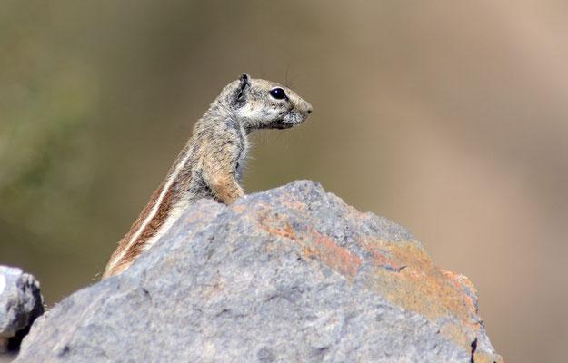 Écureuil de Barbarie (Atlantoxerus getulus). Route vers Tafraoute. ©Michel AYMERICH