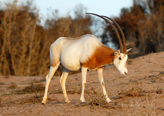 Oryx algazelle (Oryx dammah). Parc national de Souss Massa ©Michel AYMERICH