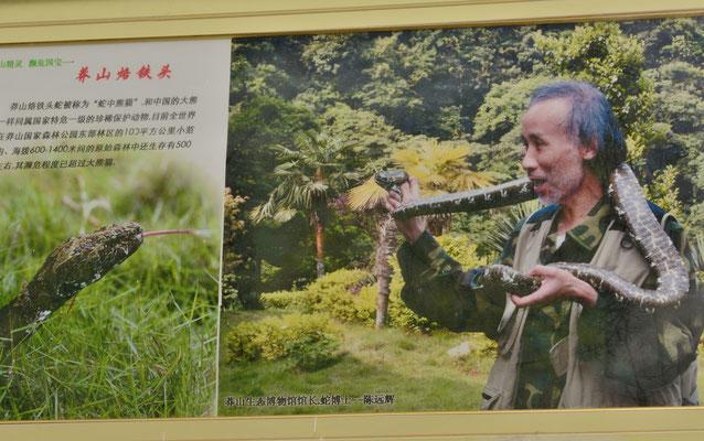 A Mangshan dans le HUNAN, au Musée consacré à la fabuleuse vipère de Mangshan... ©Michel AYMERICH