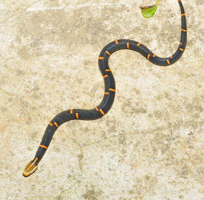 白头蝰 Vipère de Fea (Azemiops feae), Venomous! Yunnan,  juin 2017 ©Michel AYMERICH