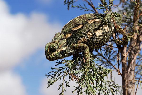 Caméléon commun (Chamaeleo chamaeleon), oued Draa près de Tantan @Michel AYMERICH