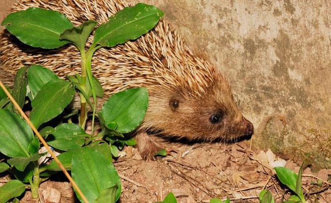 Amur Hedgehog/Hérisson de l'Amur ( Erinaceus amurensis). Province de ANHUI  ©Michel AYMERICH