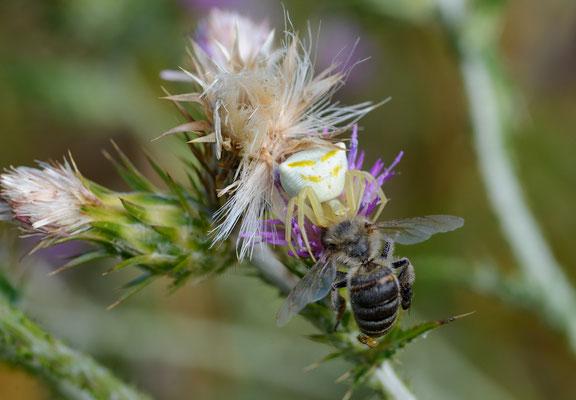 Thomise enflée (Thomisus onustus) neutralisant une abeille,  Salagou, Hérault ©Michel AYMERICH