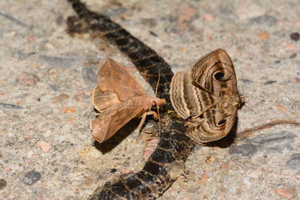 Ce Lycodon flavozonatus écrasé fait le bonheur de ces papilons. Réserve naturelle de Mangshan près de Chenzhou (HUNAN) ©Michel AYMERICH