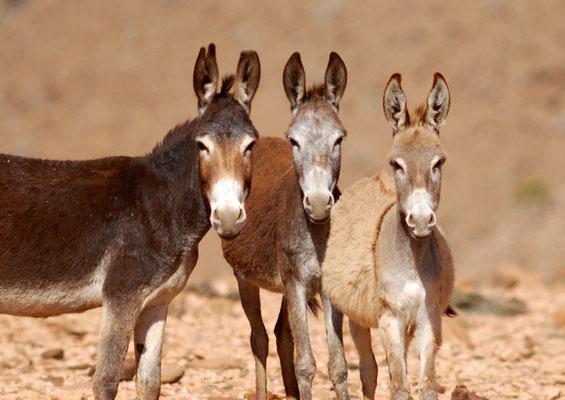 Ânes ensauvagés (Equus asinus) au Sahara ©Michel AYMERICH