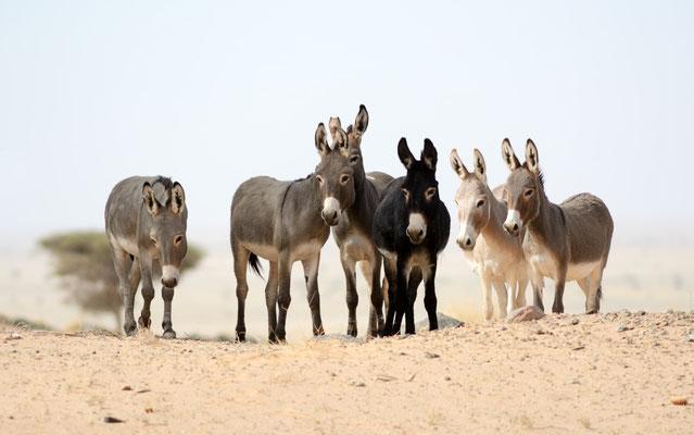 Ânes ensauvagés (Equus asinus) au Sahara atlantique, dans la région autour de Aousserd ©Michel AYMERICH