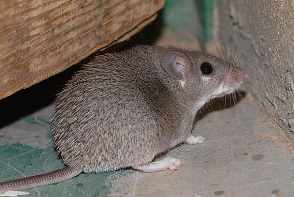 Rat épineux (Acomys chudeaui). Près d'Aouinet torkoz ©Michel AYMERICH