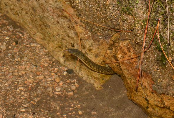 Opisthotropis latouchi sortant la tête de l'eau. Non-venomous! Juillet 2016 ©Michel AYMERICH