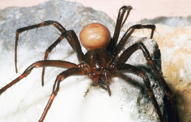 La grande araignée des grottes (Meta menardi), Montpellier  (Hérault) ©Michel AYMERICH
