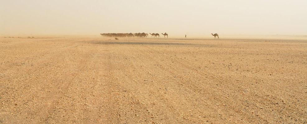 Dromadaires se dirigeant vers un puit, par vent de sable. © Michel AYMERICH