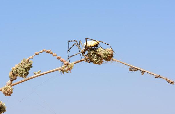 Argiope lobata femelle ©Michel AYMERICH
