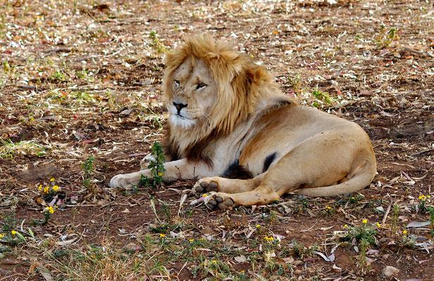 Lion de l'Atlas (Panthera leo leo). Ancien Zoo de Rabat ©Michel AYMERICH