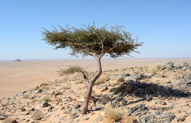 Acacia © Michel Aymerich